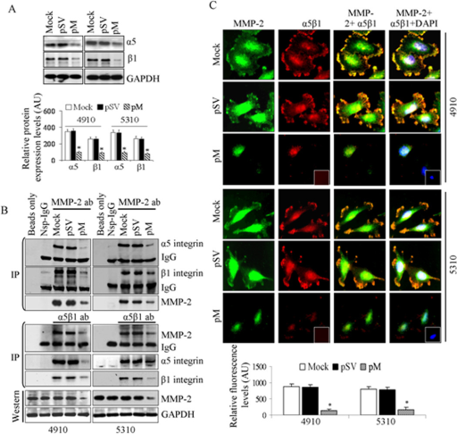 Effect of MMP-2 downregulation on α5 and β1 integrin expression and MMP-2/α5β1 complex formation. A, Whole cell lysates were subjected to western blotting to check the expression levels of α5 and β1 integrins and relative expression levels were quantified using ImageJ (NIH) and plotted as mean±SE values from three replicates and statistical significance was represented by, * at p<0.01. B, Whole cell lysates (200 µg) were immunoprecipitated with antibodies against non-specific IgG, α5 and β1 integrin using µMACS™ protein G microbeads and MACS separation columns and immunoprecipitates were subjected to western blotting. The co-IP blots were stripped and re-probed with respective antibody used for immunoprecipitation. Input samples (whole cell lysates without immunoprecipitation) were subjected to Western blot analysis where GAPDH probing was used to check equal loading. C, 4910 and 5310 cells were seeded in 2-well chamber slides (2×103 per well) and transfected for 48 h as described in Materials and Methods. Cells were fixed, permeabilized and incubated with antibodies specific for α5β1 and MMP-2 (1:100 dilution) for 2 hours at room temperature followed AlexaFluor® secondary antibodies for 1 hour, DAPI stained and mounted. Non-specific IgG staining (Nsp-IgG) served as negative control (Insets). Representative confocal microscopic pictures in randomly selected microscopic fields of three independent experimental replicates were shown. Relative florescence levels representing MMP-2/α5β1 co-localization were estimated by ImageJ 1.42 (NIH) and arbitrary units were plotted in the bar diagram as mean ± SE and significant difference among different treatment groups was denoted by * at p<0.01.