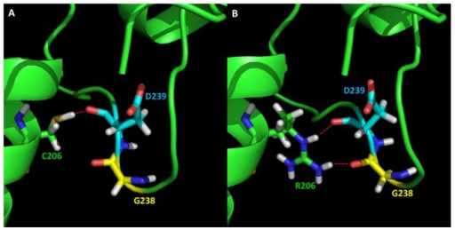 Effects on hydrogen networks surrounding the mutation site C206.(A) WT; (B) Mutant C206R. The residues are presented in sticks: green sticks represent C206 in WT and R206 in the mutant; yellow sticks represent G238; and cyan sticks represent D239. The red dash indicates the hydrogen bonds.