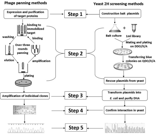 Schematic of two alternate approaches for the selection of antigen-specific VHHs (continuation of Figure 1).On the left side, a VHH screening approach based on phage panning is presented. On the right side, a VHH screening approach based on Clontech Matchmaker™ Gold Yeast Two-Hybrid System is presented.