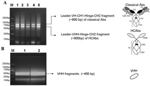 Agarose gel electrophoresis of Camelus Bactrianus VHH repertoire amplified by two successive PCRs.A, First round PCR to distinguish VH from VHH based on amplicon sizes. The upper bands in lanes 1–5 (∼900 bp) represent the Leader-VH-CH1-Hinge-CH2 region of classical Abs. The lower band (∼600 bp) in lanes 1–5 represents the Leader-VHH-Hinge-CH2 region of HCAbs. B, The complete VHH fragments is amplified (∼400 bp in lanes 1–2) by a second nested PCR using the purified 600 bp DNA from Figure 3A as template. M in A and B indicate the DL2000 DNA marker. The primers used in two successive PCRs are from Table 1, and the schematics on the right of Figure 3A and Figure 3B represent the classical Abs (top), HCAbs (middle), and VHH (bottom).