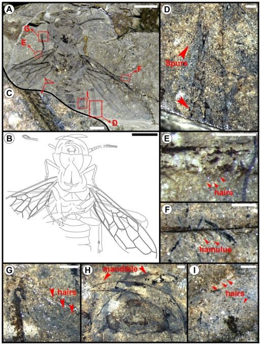 Hoplitolyda duolunica gen. et sp. nov., from the Early Cretaceous of China.A and B, photograph and line drawing; C, bristles on basitarsus of middle leg; D, spurs on hind leg; E, hairs below the vein C of forewing; F, hamuli on hind wing; G, hairs on tibia of fore leg; H, mandibles; I, hairs on abdomen. Scale Bars for A and B: 10.0 mm, for C to I: 0.5 mm.