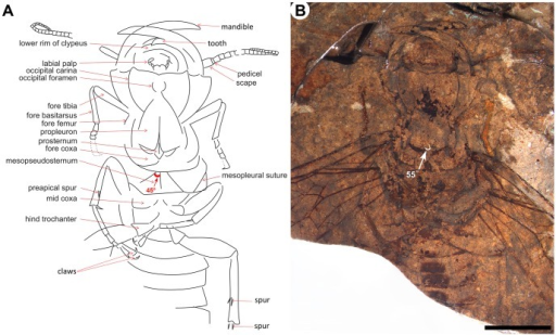 Detail structures of Hoplitolyda duolunica gen. et sp. nov.A, line drawing; B, photo under ethanol; Scale bar = 10.0 mm.