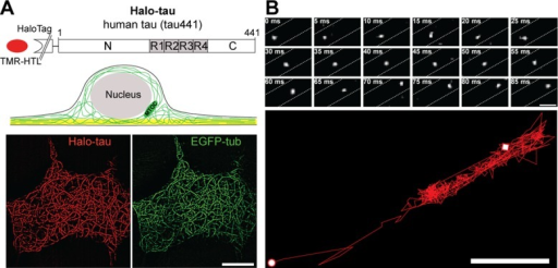 Single-molecule tracking reveals undirected fast movement of tau in processes of neural cells. (A) Schematic representation of the Halo-tagged tau fusion construct (Halo-tau) and the visualization of a thin cellular layer by TIRF microscopy. The microtubule-binding repeats (R1–R4) are indicated by the gray boxes, and the evanescent field close to the cellular attachment site is shown in yellow. Bottom, colocalization of Halo-tau (left) and monomeric enhanced GFP–tagged α-tubulin (EGFP-tub; right) as visualized by TIRF microscopy of the cell body of living PC12 cells. Sum projections of 1000 consecutive frames were recorded. Scale bar, 10 μm. MTOC, microtubule-organizing center. (B) Time series of individual Halo-tau molecules moving in a process of a neuronally differentiated PC12 cell. Motion during the first 85 ms. Dashed lines indicate the border of the process. A trajectory generated from the complete time series (2.2 s = 440 frames) is shown below, indicating undirected fast movement both longitudinally and transversally. The starting point is indicated by a circle and the end by a square. Scale bar, 0.5 μm.