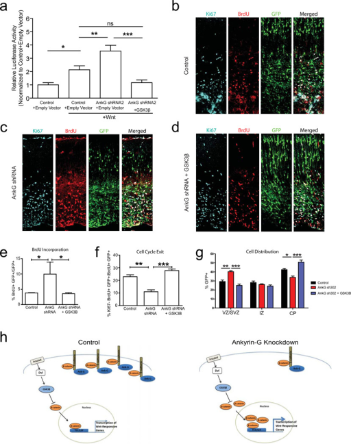 Dampening canonical Wnt-signaling rescues phenotypes associated with ankyrin-G knockdowna) GSK3β overexpression rescues increased Wnt-mediated luciferase activity (in all cases, n=4; Tukey's Multiple Comparison test). b–d) Images of E16 mouse cortices electroporated at E13 with non-targeting (b, Control) or ankyrin-G-directed small hairpin along with either empty vector (c, AnkG shRNA) or GSK3β overexpression construct (d, AnkG shRNA + GSK3β), and GFP expression plasmid. Images were stained for GFP (green), BrdU (red) and Ki67 (blue). e) Increased BrdU incorporation associated with ankyrin-G knockdown is reduced to control levels when ankyrin-G shRNA is co-expressed with GSK3β (Control + Empty Vector, n=4; AnkG shRNA + Empty Vector, n=2; AnkG shRNA+ GSK3β, n=4; Tukey's Multiple Comparison Test). f) Co-expression of GSK3β with ankyrin-G shRNA rescues the cell cycle exit phenotype assayed using Ki67 proliferative marker (Control + Empty Vector, n=4; AnkG shRNA + Empty Vector, n=2; AnkG shRNA+ GSK3β, n=4; Tukey's Multiple Comparison Test). g) Distribution of GFP+ cells in different cortical zones 72 hours after transfection at E16. Co-expression of GSK3β with ankyrin-G shRNA reduced the percentage of GFP+ cells in the VZ compared to ankyrin-G knockdown condition (Control + Empty Vector, n=4; AnkG shRNA + Empty Vector, n=2; AnkG shRNA+ GSK3β, n=4; Tukey's Multiple Comparison Test). h) Working model for ankyrin-G function during cortical development. Left, in control condition ankyrin-G localizes E-cadherin to plasma membrane where it participates in cadherin-catenin complex. Right, in ankyrin-G knockdown condition E-cadherin localized to plasma membrane is reduced, which in turn results in increased free β-catenin available for Wnt signaling. Upregulation of Wnt signaling results in increased neural progenitor proliferation in developing cortex. *, P<0.05; **, P<0.01; ***, P<0.001. Scale bar: 100 µm