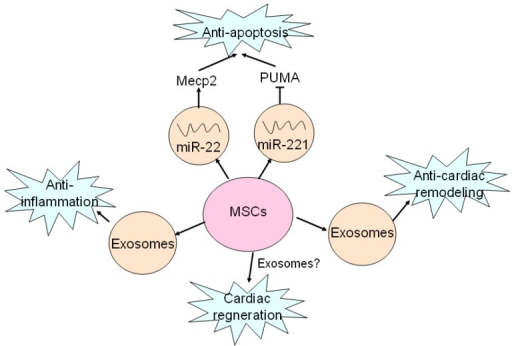 Exosomes mediates beneficial effects of MSCs on hearts. MSCs secret exosomes containing miR-22 and miR-221 to target Mecp2 and PUMA, and thus exert anti-apoptotic effects. Anti-inflammatory effect of MSCs is mediated by exosomes as well as MVs. Exosomes are also responsible for anti-cardiac remodeling of MSCs. Cardiac regeneration property of MSCs has been proved, but whether exosomes are involved in this process remains unclear.