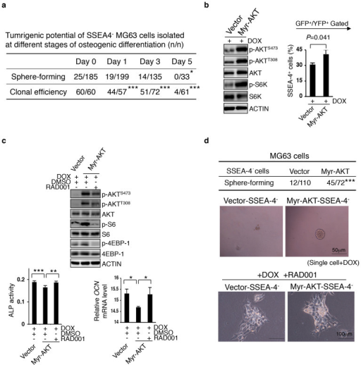 mTORC1 Supports the De-differentiate Potential of Early SSEA-4− Progeny.(a) SSEA-4− cells were sorted at different time points during MG63 cells' differentiation to osteocytes and individually inoculated into fresh medium for measuring their clonal efficiency or into special medium for measuring their tumorsphere-forming potential (*P < 0.05, ***P < 0.001). (b) Enforced activation of AKT-mTOR pathway increases SSEA-4+ cell frequency in MG63 cells undergoing mesenchymal differentiation. Transduced cells were plated at 60% confluence and the expression of Myr-AKT was induced by Dox; SSEA-4+ cell frequency was measured 48 hours later. Results are shown as means ± SDs. The cropped blots were run under the same experimental conditions. The full-length blots can be seen in Supplementary Figure 8. (c) mTOR inhibitor relieves the AKT activation-caused differentiation arrest of MG63 cells. Data for ALP activity and OCN mRNA levels are presented as means ± SDs (*P < 0.05, **P < 0.01, ***P < 0.001). The cropped blots were run under the same experimental conditions. The full-length blots can be seen in the Supplementary Figure 8. (d) Tumorsphere-forming rates of single SSEA-4− MG63 cells expressing vector or Myr-AKT (as in b or c) are shown on the upper panel (***P < 0.001). The enhancing effect of Myr-AKT induction on the tumorsphere-forming potential of SSEA-4− cells was abolished by RAD001 (bottom panel).