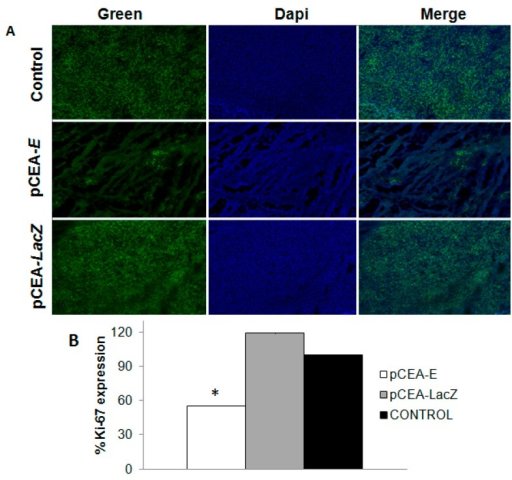 Immunohistochemical staining of Ki-67 expression in mice bearing subcutaneous MC-38 tumors treated with pCEA-E. (A) Images of Ki-67 expression (green) and cell nuclei stained with DAPI (blue). Original magnification: 10×; and (B) Ki-67 histogram protein expression profiles. Ki-67 expression was lower in the pCEA-E-treated group than in the pCEA-LacZ and control groups (* p < 0.05).