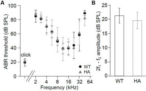 Hearing function in Cav1.3DCRDHA/HA mice. (A) ABR thresholds (mean ± SD) of Cav1.3DCRDHA/HA mice were normal for click stimuli (WT and Cav1.3DCRDHA/HA: n = 8/16 animals/ears) and as a function of stimulus tone frequency (WT: n = 6/12 animals/ears and Cav1.3DCRDHA/HA: n = 7/13 animals/ears). Thresholds could be measured in (n = animals/ears, frequency in kHz): WT: 2/3, 2; 6/9, 2.8; 6/12, from 4 to 22.6; 3/6, 32; 3/6, 45.2; Cav1.3DCRDHA/HA: 2/3, 2; 7/13, from 2.8 to 32; 4/8, 45.2. (B) Mean DPOAE maximum amplitudes (signal to noise ratio) ± SD at f1 = 9.1 kHz, L1 = 55 dB SPL, f2 averaged over 10–18 kHz, and L2 = 45 dB SPL were normal in Cav1.3DCRDHA/HA (n = 7/14 animals/ears) compared with WT mice (n = 7/14 animals/ears, p = 0.12), indicating normal function of the cochlear amplifier.