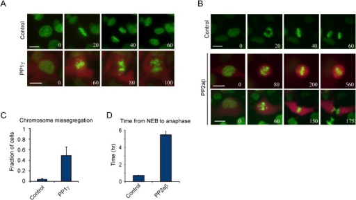 Excessive PP1γ and PP2aβ activity perturbs chromosome segregation.(A–D) RPE-1 cells expressing either H2B-GFP alone or together with mCherry and PP1γ (A, C) or mCherry and PP2aβ (B, D) were analyzed by time-lapse microscopy. Simultaneous expression of mCherry and untagged PP1γ or PP2aβ was accomplished by inserting a P2A ribosome skipping sequence in between mCherry and the phosphatase sequence. (A) Stills from representative videos of control cell (upper panel) or PP1γ overexpressing cell (lower panel). Time is shown in min. (B) Stills from representative video of control cell (upper panel) or PP2aβ expressing cells (lower two panels). The top PP2aβ expressing cell shows a prometaphase arrest with misaligned chromosomes, while the bottom cell shows a cell with a prometaphase delay and subsequent cytokinesis without chromosome segregation, known as a 'cut' phenotype. Time is shown in min. (C) The fraction of cells in which one or more chromosomes mis-segregated was determined for control cells and cells expressing PP1γ. (D) shows the average time from NEB to anaphase for control cells and cells expressing PP2aβ. All graphs are the mean and SD of 3 independent experiments with 20–40 cells analyzed per experiment. Scale bars, 10 μm.DOI:http://dx.doi.org/10.7554/eLife.07957.007