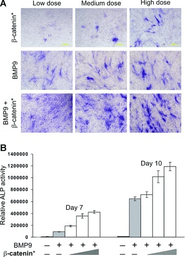 Overexpression of a stabilized β‐catenin enhances BMP‐9‐induced alkaline phosphatase (ALP) activity in MSCs. (A) Qualitative assessment of β‐catenin‐mediated augmentation of BMP‐9‐induced ALP activity. C3H10T1/2 cells were infected with varying titres of Adβ‐Cat* and/or AdBMP‐9. ALP activities were histochemically stained at 10 days after infection. (B) Quantitative assessment of β‐catenin‐mediated enhancement of BMP‐9‐induced ALP activity. C3H10T1/2 cells were co‐infected with a fixed titre of AdBMP‐9 and varying titres of Adβ‐Cat*. ALP activities were quantitatively assessed at the indicated time‐points. Data are present as mean ± S.D.