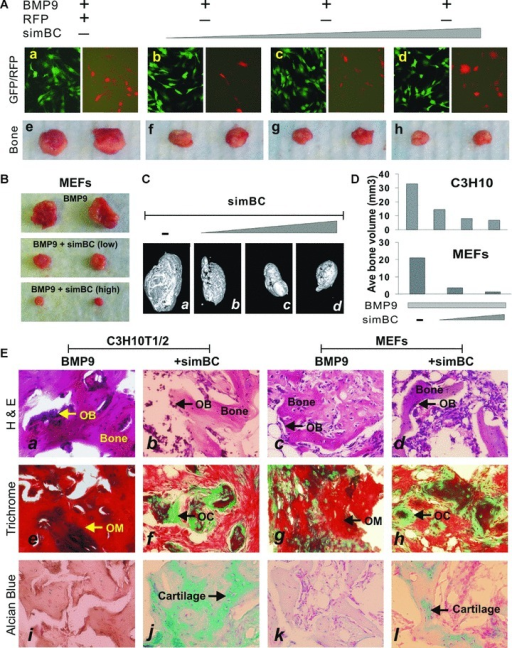 Silencing of β‐catenin expression inhibit BMP‐9‐induced ectopic bone formation in vivo. (A) Knockdown of β‐catenin into C3H10T1/2 cells inhibits BMP‐9‐induced ectopic bone formation. C3H10T1/2 cells were co‐infected with AdBMP‐9 and varying titres of AdR‐simBC, or AdRFP for 15 hrs, and the co‐infection efficiency was examined under a fluorescence microscope. The infected cells were collected and subjected to subcutaneous injection into athymic mice. At 5 weeks after implantation, animals were killed and bony masses were retrieved. Representative gross images are shown (parts e to h). (B) BMP‐9‐induced bone formation in mouse embryonic fibroblasts (MEFs) is also inhibited by silencing β‐catenin expression. A similar set of experiments as described in (A) was carried out in MEFs. (C) MicroCT analysis. The retrieved masses from (A) were further subjected to microCT scanning. Representative reconstructed 3‐dimmensional images are shown. (D) Knockdown of β‐catenin reduces the volume of BMP‐9‐induced bone formation. Bone volume (mm3) was calculated based on microCT scanning data. The average bone volume of each group is shown. (E) The retrieved samples were decalcified and subjected to haematoxylin and eosin staining (parts a to d), Masson's Trichrome staining (parts e to h) and Alcian Blue staining (parts i to l). Representative images are shown. For the Trichrome stain, decalcified ossified matrix stained dark red, whereas osteoid or cartilage matrix stained blue. For the Alcian Blue stain, cartilage stained blue. OB, osteoblast; OC, osteoid or cartilage‐like matrix; OM, ossified or mineralized matrix. Magnification, 150×.