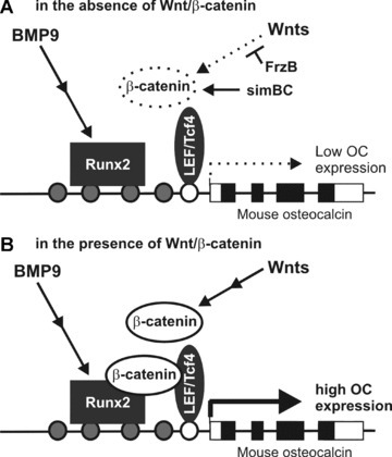A model depicting the mechanistic basis of β‐catenin function in BMP‐9‐induced osteocalcin (OC) expression. (A) BMP‐9 is less effective in inducing osteocalcin expression when the canonical Wnt/β‐catenin signalling is inhibited by FrzB or silenced by β‐catenin siRNA (e.g. simBC). (B) β‐Catenin directly interacts with Runx2 and acts synergistically on regulating osteocalcin expression. The filled circles represent putative Runx2 binding sites, while the open circle represents the putative LEF1/Tcf4 binding site. The open and filled boxes represent the exons and the coding region of mouse osteocalcin gene, respectively.