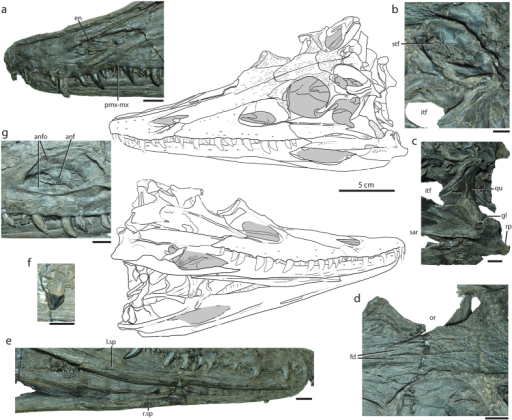 Holotype specimen of Diandongosuchus fuyuanensis (ZMNH M8770), showing relevant cranial features shared with Phytosauria.Line drawings of the skull in dorsal (above) and ventral (below) views. (a) Anterior portion of rostrum in left lateral view, showing elongated premaxillae and interdigitating premaxilla-maxilla suture; (b) left supratemporal fenestra in dorsal view, showing narrow parietal-squamosal bar and fossa in dorsal surface of postorbital-squamosal bar; (c) region of left mandibular articulation in left lateral view, showing short retroarticular process well ventral to the distal end of the quadrate; (d) skull roof in dorsal view, showing frontal depressions and cranial ornamentation; (e) mandibles in right lateral view, showing splenials separated for their length but visible in lateral view along ventral margin of mandibular ramus; (f) last maxillary tooth in lateral view, showing spade-shaped morphology; (g) region of antorbital fenestra in left lateral view, showing extensive maxillary and lacrimal components to the antorbital fossa. Scale bar for line drawing = 5 cm; scale bars for all other images = 1 cm.