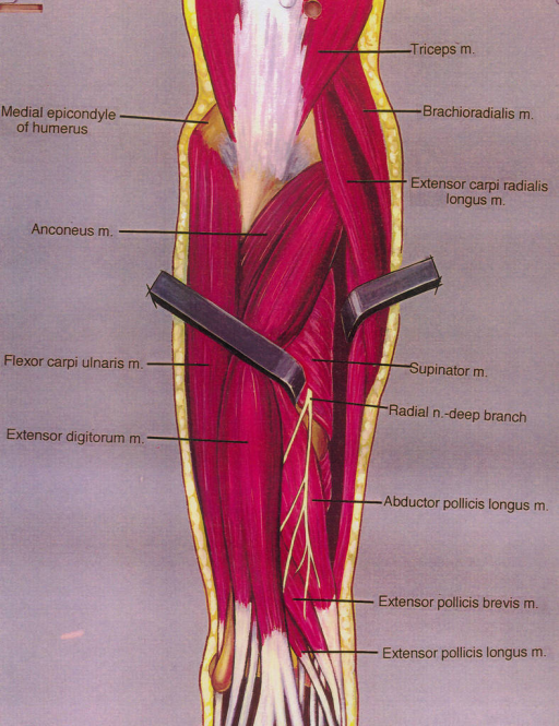 medial epicondyle of humerus; anconeus muscle; flexor carpi ulnaris muscle; extensor digitorum muscle; triceps brachii muscle; brachioradialis muscle; extensor carpi radialis longus muscle; supinator muscle; radial nerve; abductor pollicis longus muscle; extensor pollicis brevis muscle; extensor pollicis longus muscle