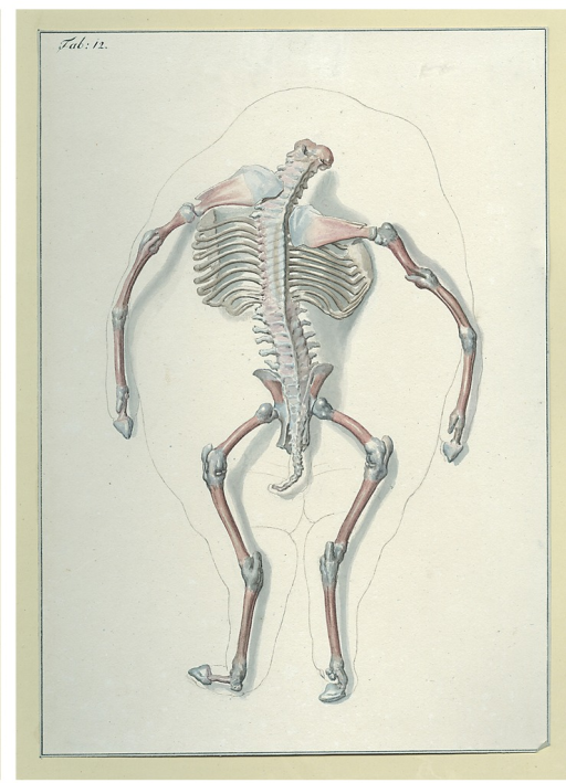 <p>A headless pig fetus with exposed skeleton.</p>