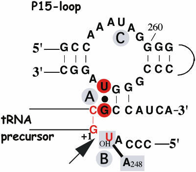Illustration of the 'RCCA–RNase P RNA interaction' (interacting residues underlined) and the interaction between A248 and residue −1 in the substrate, the 'A248/N−1 interaction' [for details see the text and (14,22), and references therein]. The residues indicated in red correspond to those that were replaced in this report. The residues in red circles show the '+73/294 interaction' while the arrow mark the canonical RNase P cleavage site at +1. In the case of the C−1 variants, C−1 is inferred to base pair with G+73 in the absence of RNase P RNA. A and B (in gray circles) represent Mg2+ ions that have been suggested to be positioned at and in the vicinity of the cleavage site [(22) and references therein] while C is an additional ion positioned in the P15-loop. The 2′-OH at the −1 position has been suggested coordinating Mg2+ at the cleavage site, and/or interacting with RNase P RNA (14,15,22,28,29,31,34).