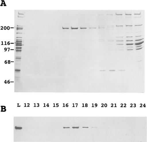 Purification of functional Uso1p-myc. Fractions eluting  from a Superose 6 column were analyzed by SDS-PAGE and silver stained (A), immunoblotted with anti-myc mAb (B), and  then assayed for stimulation of vesicle fusion in the presence of  QFT and Sec18p-6His (C). Fraction 17 contains the peak of activity and anti-myc immunoreactivity. Activity data represents vesicle  fusion above the QFT and Sec18p level that was 7% in this experiment.