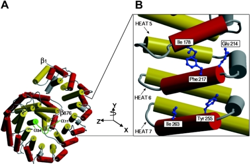 Model of the importin β–IBB domain complex. (A) Rod representation of the structure of importin β complexed with the IBB domain of importin α, according to Cingolani et al. (1999). The A and B helices of the HEAT repeats are shown in red and yellow, respectively, with connecting loops and helices in gray. The IBB domain of importin α is in green. (B) An enlarged view highlighting the A helices of HEAT repeats 5–7, which were shown to be involved in binding FxFG motifs by crystallography (Bayliss et al., 2000). The enlarged image was rotated by 90° in a Y direction with respect to A. The side chains of the residues analyzed by the mutagenesis as described in Table I are highlighted in blue.
