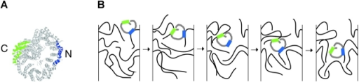 Model depicting the involvement of two nucleoporin binding regions in importin β in its translocation through the NPC. (A) The two nucleoporin binding regions are illustrated in a ribbon representation of importin β. The NH2-terminal region is shown in blue, and the COOH-terminal region in green. (B) One possible model for importin β translocation through the NPC. The model depicts only the central channel region, but movement between the peripheral fibrils of the NPC and the central channel could be conceptually similar. The two nucleoporin binding regions are shown in blue and green as in A, and the FG-rich nucleoporin regions are depicted as flexible filaments. Importin β could use its NH2- and COOH-terminal regions simultaneously or in succession to promote movement through the NPC.