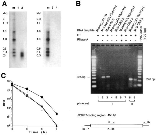 Expression of recombinant noxR1 in M. smegmatis and native noxR1 in M. tuberculosis. (A) Northern blot. Total  RNA (15 μg) from M. smegmatis  pOLYG (lanes 1 and 3) and M.  smegmatis pOLYG-NO14 (lanes  2 and 4) was probed with oligonucleotides specific for ORF1  (lanes 1 and 2) or ORF2 (lanes 3  and 4). (B) RT-PCR analysis.  Total RNA from recombinant  M. smegmatis strains (0.2 μg) and  wild-type M. tuberculosis (1.0 μg)  was analyzed by RT-PCR after  amplification of cDNA with random hexamer primers. Primer  sets I and II specific for noxR1-coding region are depicted. (C)  Ablation of phenotype by introduction of stop codon in ORF1.  E. coli HB101 were transformed  with pBS (open squares), pNO14.1  (solid squares), or pNO14.1-mut1  (solid triangles), and the latter was  mutated to introduce a stop at  codon 12 in ORF1 without affecting ORF2, and all three recombinants were subjected to  ASN.