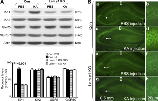 KA specifically up-regulates the KA1 subunit of the KA receptor in the hippocampus in control but not in lamγ1 KO mice. (A) After KA injection, only the KA1 subunit was significantly higher in the hippocampus of control (Con) mice compared with PBS-injected control mice and lamγ1 KO mice injected with PBS or KA. All other subunits' expression levels remained similar between PBS- or KA-injected control and KO mice. Quantitative analyses were performed by one-way ANOVA and are shown as bar graphs (n = 7 per group for each experiment; Western blot signal intensities were normalized to actin). (B) Immunohistochemistry of KA1 subunit in PBS- or KA-injected control and lamγ1 KO mice. (a and b) In PBS-injected control mice, KA1 was expressed in the CA1 and CA3 regions but was not detected in the DG. (c and d) However, 2 h after KA injection, KA1 expression was dramatically increased in the CA1 region. KA1 expression in CA3 and mossy fiber pathway was slightly decreased (arrows), which may suggest early neuronal damage. (e–h) In lamγ1 KO mice, the expression levels of KA1 between PBS- and KA-injected mice were similar. Higher magnification of boxed areas in a, c, e, and g are shown in b, d, f, and h, respectively. Error bars indicate SEM. Bars: (a, c, e, and g) 0.5 mm; (b, d, f, and h) 20 μm.