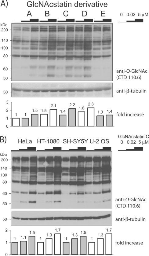 Immunoblot detection of O-GlcNAc modifications on cellular proteins using an anti-O-GlcNAc antibodyThe increase in O-GlcNAc levels in comparison with untreated samples is shown in the histogram underneath the blot. (A) HEK-293 cells were treated with GlcNAcstatins A–E for 6 h with the concentrations indicated. (B) GlcNAcstatin C was added to HeLa, HT-1080, SH-SY5Y or U-2 OS cells for 6 h with the identical inhibitor concentrations as in (A). The molecular mass in kDa is indicated on the left-hand side of each blot.