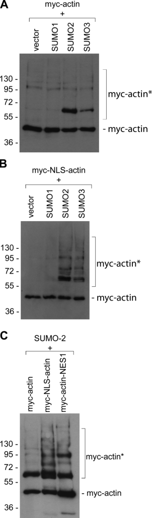 Actin is SUMOylated in vivo. (A and B) COS-7 cells were cotransfected with His-tagged SUMO proteins and various myc-tagged actin constructs. His-tagged proteins were purified on a Ni2+ column and analyzed with a myc antibody. Myc-actin (A) and myc-NLS-actin (B) are modified in vivo predominantly by SUMO 2 and 3. Modification of actin by SUMO2 and SUMO3 is increased when the amount of nuclear actin is increased (compare A and B). Vector indicates cells that were only transfected with myc-actin or myc-NLS-actin. (C) SUMOylation of nuclear targeted actin: COS-7 cells were cotransfected with His-SUMO2 and either myc-actin, myc-NLS-actin, or myc-actin-NES-1. Myc-NLS-actin and myc-actin-NES-1 are targeted to the nucleus via the NLS or are retained in the nucleus because of a mutation in the NES. The two actin constructs that are targeted to the nucleus show strong SUMOylation. In contrast, myc-actin, which is predominantly cytoplasmic, shows weaker modification. Molecular mass markers are indicated in kD. Asterisks, SUMOylated actin.