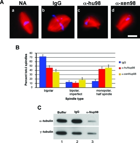 Addition of Nup98-specific antibodies causes a shift to monopolar spindles. (A) Antibodies raised to either human or Xenopus Nup98 were added to spindle assays at 200 or 100 μg/ml, respectively. Nonspecific rabbit IgG was added at 200 μg/ml. Assays were incubated for 60 min. Microtubules are in red; DNA is in blue. Scale bar is 20 μm. (B) Spindle morphology was quantified with spindles scored as either bipolar, imperfect bipolar, or monopolar; 25–50 spindles were scored for each condition in three independent experiments for a total of 250 spindles. Error bars represent standard error of the proportion (SEP). (C) Polymerized tubulin was pelleted and analyzed by immunoblotting. The smaller half-spindles formed in Nup98 samples pelleted less efficiently, leading to decreases in both α- and γ-tubulin.