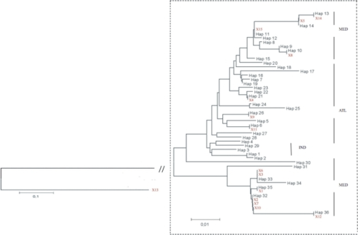 Neighbour-Joining distance-based phenogram (K2P) between sequences of 5′dloop in unknown origin samples (but all of them labeled as Mediterranean) purchased at local supermarkets.The branch connecting the X13 (outgroup) sample to the ingroup was re-scaled in order to focus on the differences within X. gladius.