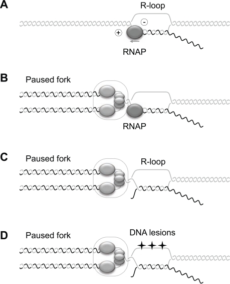 Model for interference between cotranscriptional R-loop | Open-i
