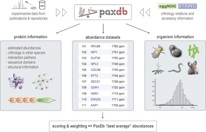 PaxDb overview. For each release of PaxDb, protein abundance information is imported from a number of sources, including proteomics repositories and published studies. All data is preprocessed and, in the case of raw MS/MS data, protein abundances are recalculated by spectral counting. Additional information is imported from the STRING database. The representation of data is structured in three different views: 1) information about a single protein, 2) abundance tables for all detectable proteins in an organism, and 3) a summary page for every organism, listing available data sets. Where several data sets exist for one organism, PaxDb also provides a weighted-average integrated data set that is more comprehensive and has less noise than the single data sets.