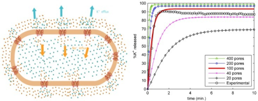 Left panel: schematic of a whole bacterial cell model. Protegrin pores (in red on the orange cell membrane) induce rapid transport of potassium (cyan spheres) and sodium (orange spheres) ions outside and inside the cell, respectively. From [11] with permission. Right panel: Potassium release curves for multiple values of the number of pores, along with experimental data. From [10] with permission.