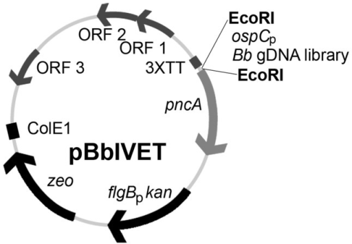 Schematic representation of the pBbIVET vector.Features of this vector include: 3XTT, the transcriptional terminator sequence for bmpB[22] repeated in triplicate; pncA, promoterless pncA gene; flgBpkan, kanamycin resistance cassette; zeo, zeocin resistance marker; ColE1, E. coli origin of replication; ORFs 1, 2, 3, B. burgdorferi cp9 replication machinery. The EcoRI restriction site was used to clone the B. burgdorferi control in vivo-expressed promoter, ospCp, as well as the B. burgdorferi (Bb) gDNA library, in front of the promoterless pncA gene. The pBbIVET vector was derived from the B. burgdorferi shuttle vector pBSV2* [80].