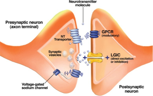 Schematic drawing of a synapse between two neurons. Synaptic vesicles contain a neurotransmitter (NT) and release it when their membranes fuse with the outer cell membrane. Neurotransmitter molecules cross the synaptic cleft and bind to receptors known as ligand-gated ion channels (LGICs) and G-protein–coupled receptors (GPCRs) on the postsynaptic neuron. GPCRs on the presynaptic neuron's axon terminal alter the function of voltage-gated ion channels and modulate neurotransmitter release. Neurotransmitter transporters remove neurotransmitter molecules from the synaptic cleft so that they can be repackaged into vesicles.