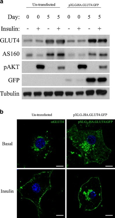 Comparison of protein expression, differentiation and GLUT4 localisation in un-transfected and lentivirally transduced 3T3-L1 adipocytes. a 3T3-L1 fibroblasts and adipocytes un-transfected or transduced with pXLG3.HA.GLUT4.GFP were serum starved for 3 h and treated with or without insulin (87 nM) for 20 min prior to lysis in 0.1 % Triton buffer. Samples were separated by SDS-PAGE and analysed by Western blotting using GLUT4, AS160, p-AKT(S473), GFP and Tubulin (loading control) antibodies. b 3T3-L1 adipocytes were serum starved and stimulated in the presence and absence of insulin and fixed in 4 % PFA for 20 min. Un-transfected cells were immunostained with antibodies against endogenous GLUT4 followed by Alexa Fluor 488 secondary antibodies, whilst adipocytes stably expressing pXLG3.HA.GLUT4.GFP were analysed in fixed cells based on their GFP fluorescence. Scale bar = 8 mm