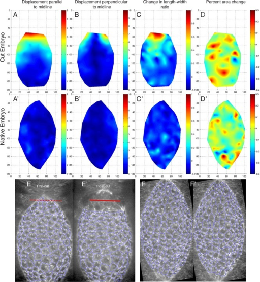 "Removal of a single canthus causes amnioserosa cell recoil and ventralward tension. (A–D) Heat maps showing changes to different cell parameters in the amnioserosa cell sheet of an embryo before and after canthus removal and (A′–D ′) in a native embryo over the same time interval. The ""before"" state was ∼30 s before cutting, and the ""after"" state was ∼1–2 min after the initial cut. (A) A heat map of amnioserosa cell centroid displacement (in micrometers) parallel to the dorsal midline (i.e., along anterior-posterior axis), both before and after canthus removal. (A′) Same measurement as A in a native embryo over the same time interval. (B) A heat map of amnioserosa cell centroid displacement (in micrometers) perpendicular to the dorsal midline (i.e., along dorsal-ventral axis), both before and after canthus removal. (B′) Same measurement as B in a native embryo over the same time interval. (C) A heat map of the change in amnioserosa cell length-to-width ratio before and after canthus removal. (C′) Same measurement as C in a native embryo over the same time interval. The length-to-width ratio is defined as the size of the cell in the dorsal-ventral axis over the size in the anterior-posterior axis. (D) Heat map of the percentage change in amnioserosa cell area before and after canthus removal. (D′) Same measurement as D in a native embryo over the same time interval. (E) Images of the embryo in A–D before canthus removal and (E′) after canthus removal. The red line denotes the site of laser incision. (F, F′) Images of the native embryo in A′–D′ over the same time interval as in E and E′."