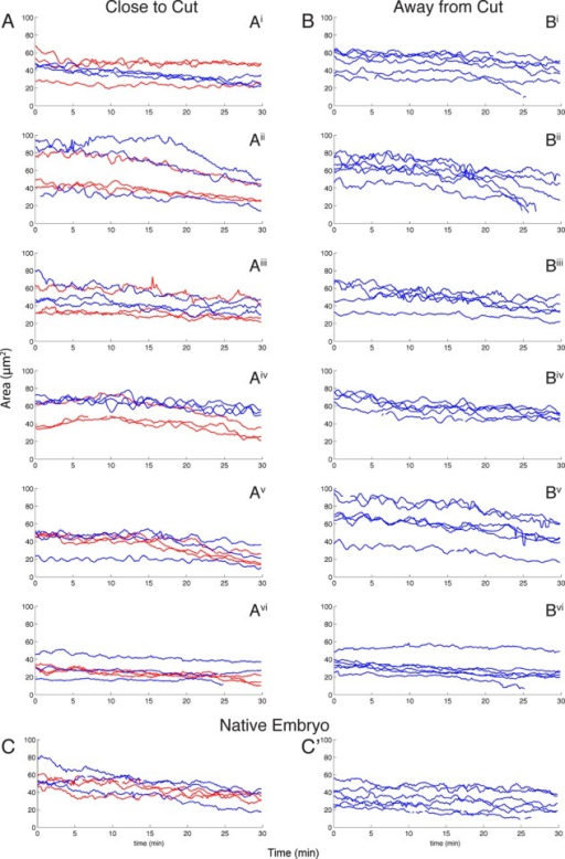 "Area plots of amnioserosa cells indicate no noticeable short-term change in area oscillations as a result of canthus removal. (A, B) Graphs of amnioserosa cell area over time in six single canthus removal embryos. The time of the first image after canthus removal is t = 0. (A) Plot of the areas of three cells closest to the laser cut (red) and three cells slightly farther away from the laser cut (blue). (Ai–Avi) Six different embryos. (B) Plot of cell area for the same six single cut embryos near the intact canthus (on the other side of the embryo). (C) Area plots of native embryos are qualitatively indistinguishable from the area plots in A and B. The ""close to cut"" and ""away from cut"" regions in native embryos refer to locations where a cut would have occurred had the embryo not been a control."