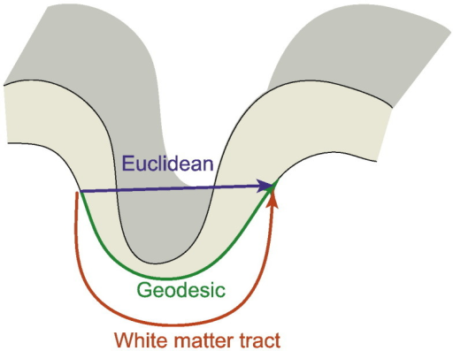 Distance measures. Geodesic distance measures the shortest path between two points across the white matter (or pial) surface of the cortex. Euclidean distance is the shortest distance through 3-dimensional space. White matter tract distance approximates the length of an axon connecting two regions.