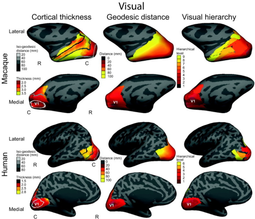 Visual cortex: cortical thickness, geodesic distance and hierarchical level for a single macaque and human. Left column: folding-corrected cortical thickness (mm) for the visual cortex with greyscale lines of iso-geodesic distance (mm) from the primary visual cortex (V1). Middle column: continuous measure of geodesic distance from V1. Right column: structural hierarchical level of visual regions based on axonal tracer studies in the macaque (Felleman and Van Essen, 1991) and functional hierarchical level of visual regions based on fMRI in the humans (Grill-Spector and Malach, 2004). Correlations between cortical thickness, geodesic distance and hierarchical level are highly significant (p < 0.001). Data overlaid on inflated left hemispheres, lateral and medial views. Rostral (R), caudal (C).