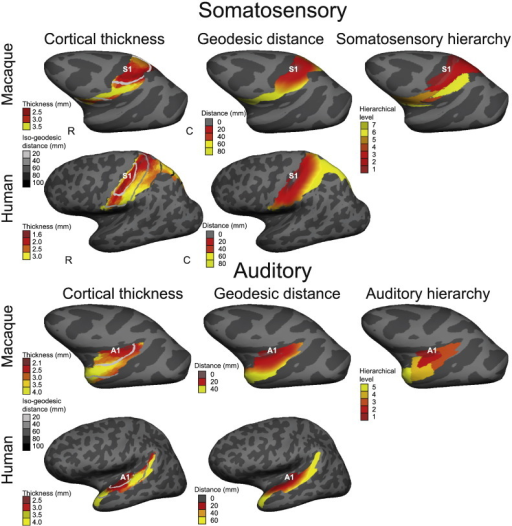 Somatosensory and auditory cortices: cortical thickness, geodesic distance and hierarchical level for a single macaque and human. Left column: folding-corrected cortical thickness (mm) with greyscale lines of iso-geodesic distance (mm) from the primary sensory cortex (S1 or A1). Middle column: continuous measure of geodesic distance from S1/A1. Right column: structural hierarchical level of somatosensory and auditory regions based on axonal tracer studies and cytoarchitecture in the macaque (Felleman and Van Essen, 1991; Barbas, 1986). Matching hierarchies and cortical parcellations were not available for humans. Correlations between cortical thickness, geodesic distance and hierarchical level are highly significant. Data overlaid on inflated left hemispheres, lateral views. Rostral (R), caudal (C).