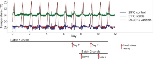 Representative temperature record from acclimation tanks over the course of the experiment. Measurements were taken every minute with HOBO pendant temperature loggers. Gray bars at the bottom show the timing and duration of acclimation for each of two batches of 18 (six per acclimation treatment) Acropora nana colonies. Red arrows indicate heat stress assays, labeled by the duration of acclimation for assayed corals.