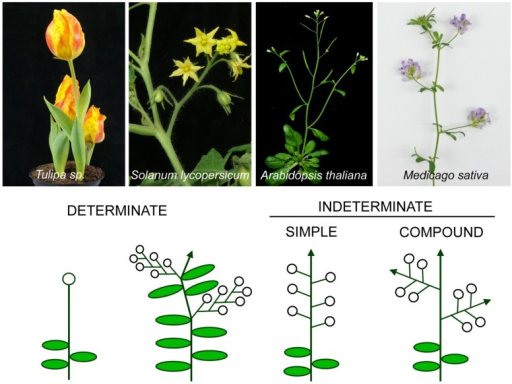 Different types of inflorescence architecture. Images of plant species representative of main inflorescence types (top) and the corresponding diagrams (below) of the architecture of their inflorescences. Open circles represent flowers and arrows represent indeterminate shoots.