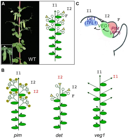 Meristem identity genes in pea. (A) Picture and diagram of a pea WT plant. The main primary inflorescence (I1) shows indeterminate growth (arrowhead). Upper nodes of the plant contain secondary inflorescences (I2) which produce 1–2 flowers (F, open circles) and terminate into a stub (triangles). The inset shows a close up of a secondary inflorescence with two flowers (pods) and the stub (arrowhead). (B) Diagrams of meristem identity of the pim, det, and veg1 mutants. In the pim mutant, flowers are replaced by proliferating I2s with abnormal flowers (closed circles). In the det mutant, the primary inflorescence is replaced by a terminal secondary inflorescence. In the veg1 mutant, the I2s are replaced by vegetative branches with I1 identity. (C) Model for specification of meristem identity in the compound pea inflorescence. In the pea inflorescence apex, DET expression in the primary inflorescence meristem (I2), VEG1 in the secondary inflorescence meristem (I2) and PIM in the floral meristem (F) are required for these meristems to acquire their identity. Expression of these genes in their correct domains is maintained by a network of mutual repressive interactions.