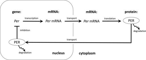 the transcriptiontranslation feedback loop proposed by hardin et al 23 to