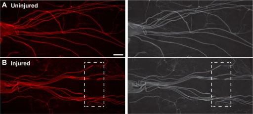 Mechanical injury of Drosophila larvae demonstrates damage to the majority of segmental peripheral nerves. (A) Fluorescently conjugated antibodies against HRP indicate intact segmental nerves in wild-type uninjured animals extending from the dorsal nerve cord down to their respective muscle targets. (B) After mechanical injury, HRP staining demonstrates ~8–12 damaged segmental nerves. The boxed region shows the location of the crush site. Scale bar = 100 μm.