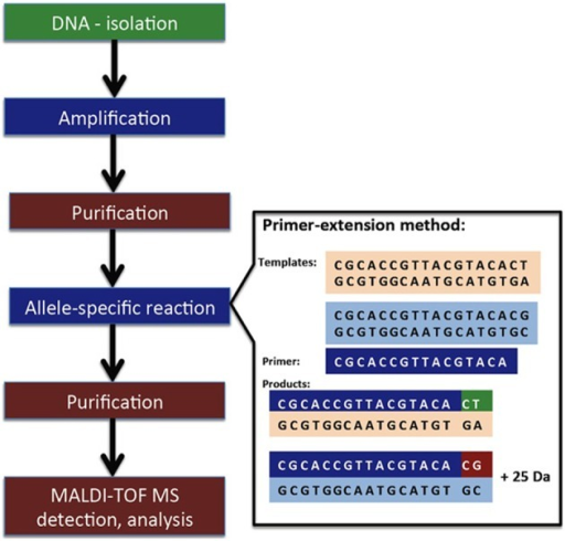 Simplified procedure of minisequencing linked to MALDI-TOF MS detection. Obtained from Hrabák et al. (2013) and reprinted with permission from the publisher.