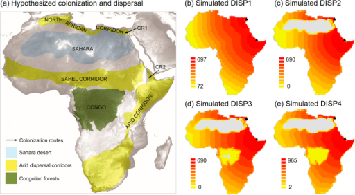 Hypothesized and simulated colonization and dispersal routes.(a) Hypothesized colonization routes of agamid taxa into Africa via the Sinai (CR1) or the Bab al-Mandab (CR2), the 27 km broad strait between the Arabian Peninsula and the African continent26. Subsequent dispersal of arid taxa into Africa has been hypothesised via arid dispersal corridors such as the North African corridor, the Sahel corridor, and the arid corridor from south-western Africa to the Horn of Africa242526. Extents of the Sahara desert and Congolian forests were derived from Olson et al.12. (b–e) Simple dispersal spread patterns (DISP1–DISP4) simulated with KISSMig11, illustrating accessibility of the African continent from the origins CR1 and CR2 (black triangles). The scenarios represent DISP1 (no barriers, equally high suitability across Africa), DISP2 (Sahara desert unsuitable), DISP3 (like DISP2, but Congo forests with low suitability) and DISP4 (like DISP3, but arid corridors with high suitability and other cells with intermediate suitability). For further details of simulations see text and Table 1. Colonization was simulated using the statistical programming language R and maps were created using ArcGIS (version 10.2, ESRI, Redlands, CA, USA).