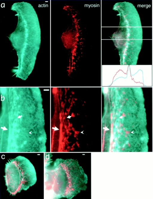 "Localization of actin and myosin II in keratocytes by fluorescence microscopy. Actin (cyan) and myosin (red) distributions are  revealed by TRITC-phalloidin and indirect immunofluorescence staining, respectively. Overall actin and myosin II organization in a  typical wing-shaped locomoting cell (a), enlarged portion of another cell exhibiting various patterns of actin and myosin mutual arrangement (b), locomoting cell of a symmetrical shape (c), and a tethered cell (d) are shown. All cells exhibit discrete myosin spots among  continuous actin network in lamellipodia, as well as accumulation of both actin and myosin at the lamellipodia/cell body boundary. Intensity profiles of actin (cyan) and myosin (red) within the cell area indicated in the ""merge"" panel of a are shown in the inset, and they  illustrate reverse gradients of actin and myosin in lamellipodia. (b) Examples of a myosin spot in the lamellipodia that does not coincide  with any discrete actin structure (arrowhead), myosin spots coinciding with small actin bundles merging to boundary bundles (small arrow), and colocalization of actin and myosin in the boundary bundle (large arrow). Bars, 2 μm."