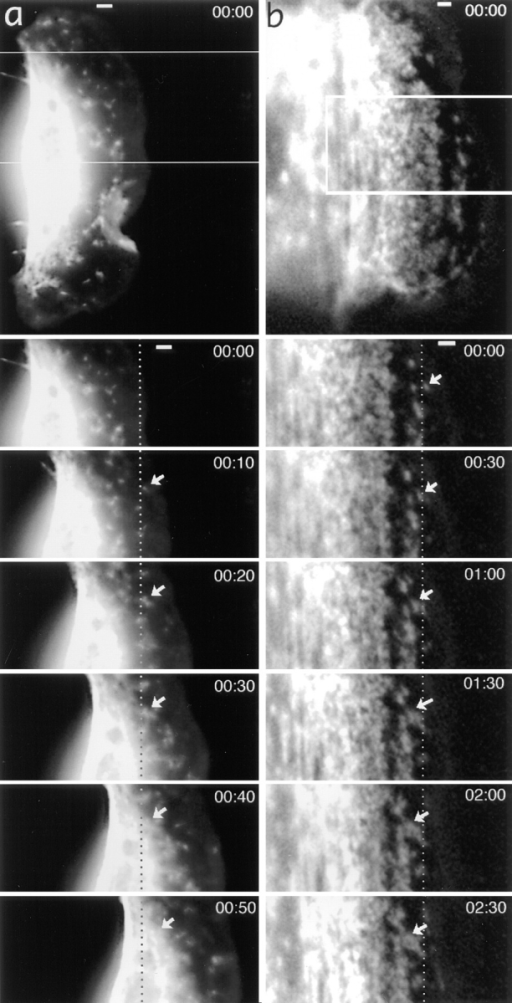 Myosin spots are stationary in the  lamellipodia of a locomoting keratocyte (a), but  they exhibit retrograde flow in the lamellipodia  of a tethered cell (b). General views of tetramethylrhodamine-myosin–injected cells and time-lapse sequences for boxed areas are shown with  time indicated in minute and seconds. Dotted  lines indicate fixed positions with respect to the  substratum. Selected myosin spots are shown  with arrows. In a, the marked myosin spot is stationary while in the lamellipodia, but exhibits  forward displacement at 50 s when it reaches the  cell body. Bars, 2 μm.