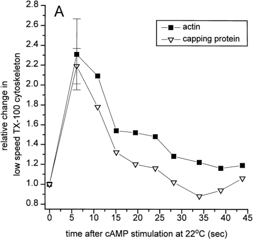 (A) Association of capping protein with the low speed  Triton-insoluble cytoskeleton after cAMP stimulation at 22°C.  Dictyostelium AX3 cells (107 cells/ml) in 20 mM phosphate buffer, pH 6.6, were starved in suspension for 5.5 h at 22°C, and then  treated with 3 mM caffeine for 30 min. At various times after  stimulation with 10 μM 2′ deoxy-cAMP, 2 × 106 cells/ml (final)  were lysed in L buffer containing 0.5% Triton X-100. Lysates  were immediately microfuged for 3 min at 8,700 g and the low  speed Triton-insoluble cytoskeleton pellets were resuspended to  20% of lysate volume and Western blotted using anti–capping  protein-α antibodies followed by densitometry. Actin levels in cytoskeleton pellets were determined by densitometry of Coomassie blue staining of the 42-kD actin band after SDS-PAGE.  The 5-s time point value represents data from three separate determinations. (B) Relative actin nucleation rate of Dictyostelium  lysates after stimulation at 22°C and 10°C. AX3 cells were starved  at 4–6 × 106 cells/ml at 22°C and transferred to either 22° or 10°C  as described in Materials and Methods. At various times after  stimulation with 10 μM 2′ deoxy-cAMP, 106 cells/ml (final) were  lysed in L buffer containing 0.5% Triton X-100. 2 μM G-actin  (30% pyrene labeled) was immediately added to the lysate, and  the initial rate of actin polymerization was monitored as an increase in pyrene fluorescence. Relative nucleation rate is defined  as the ratio of initial rate in stimulated lysates to initial rate in  resting lysates. Points represent data from three separate experiments ± the standard deviation.